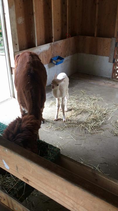 生まれたばかりのアルパカの赤ちゃん