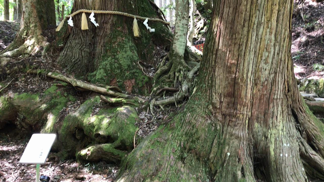 相生(あいおい)の杉