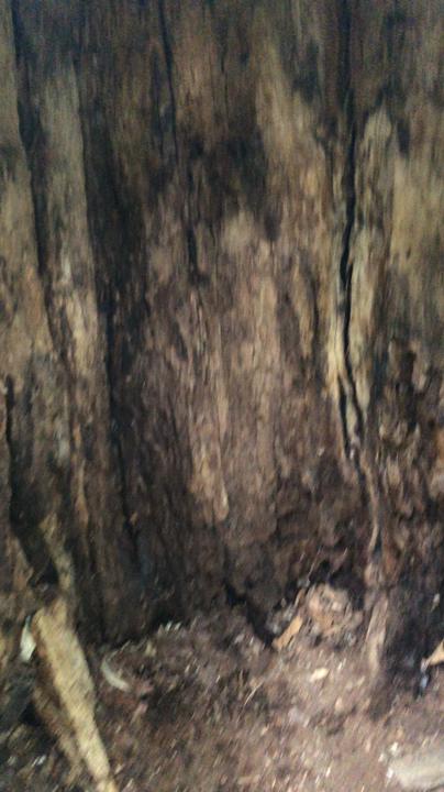 ほこらの木