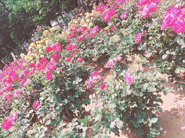 2016年バラ祭りの様子❤︎