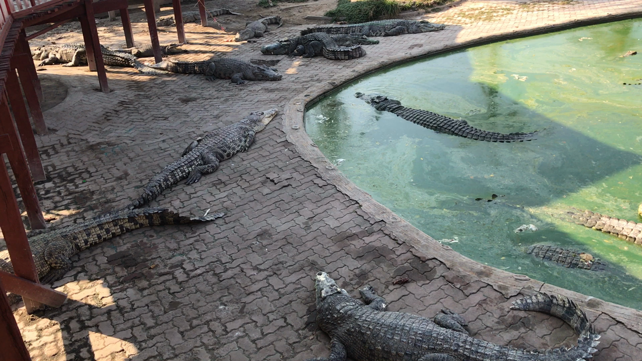 The Samutprakarn Crocodile Farm & Zoo Co.,Ltd.の写真・動画_video_684